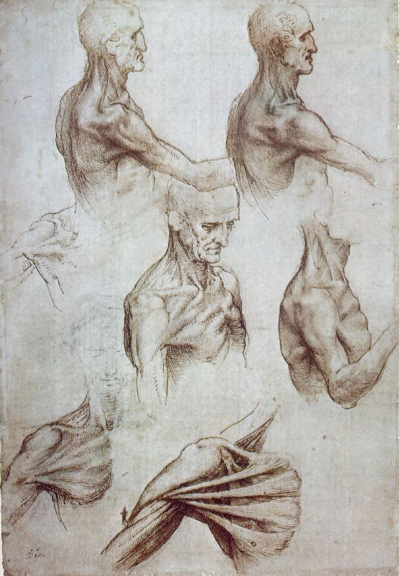 Leonardo da Vinci - Anatomical drawings - Muscles