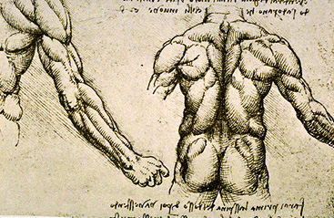 Leonardo da Vinci - Anatomical drawings - Muscles